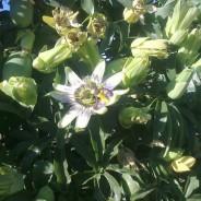 Pasionaria, passiflora o flor de la pasión