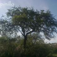 Yuyos de San Nicolás (árboles) – Espinillo o aromito